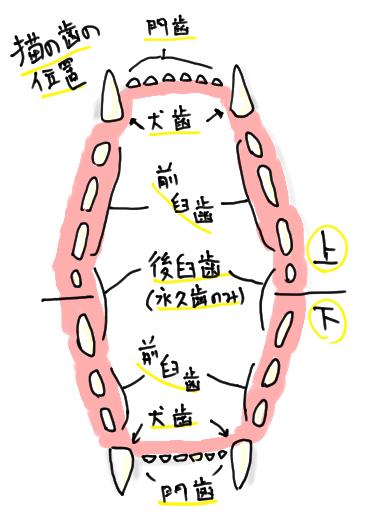 猫の歯の位置