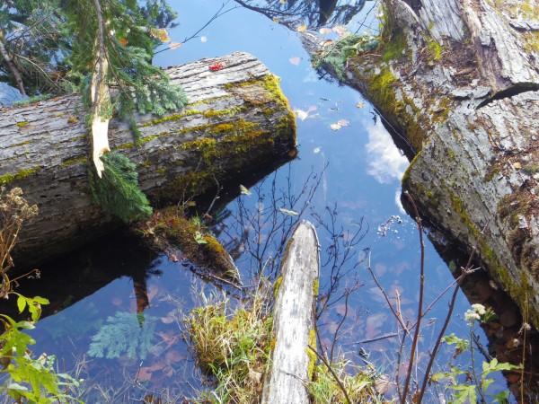 倒木が透けるほど水は澄んでいる